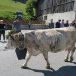 The annual cattle descent in Grisons